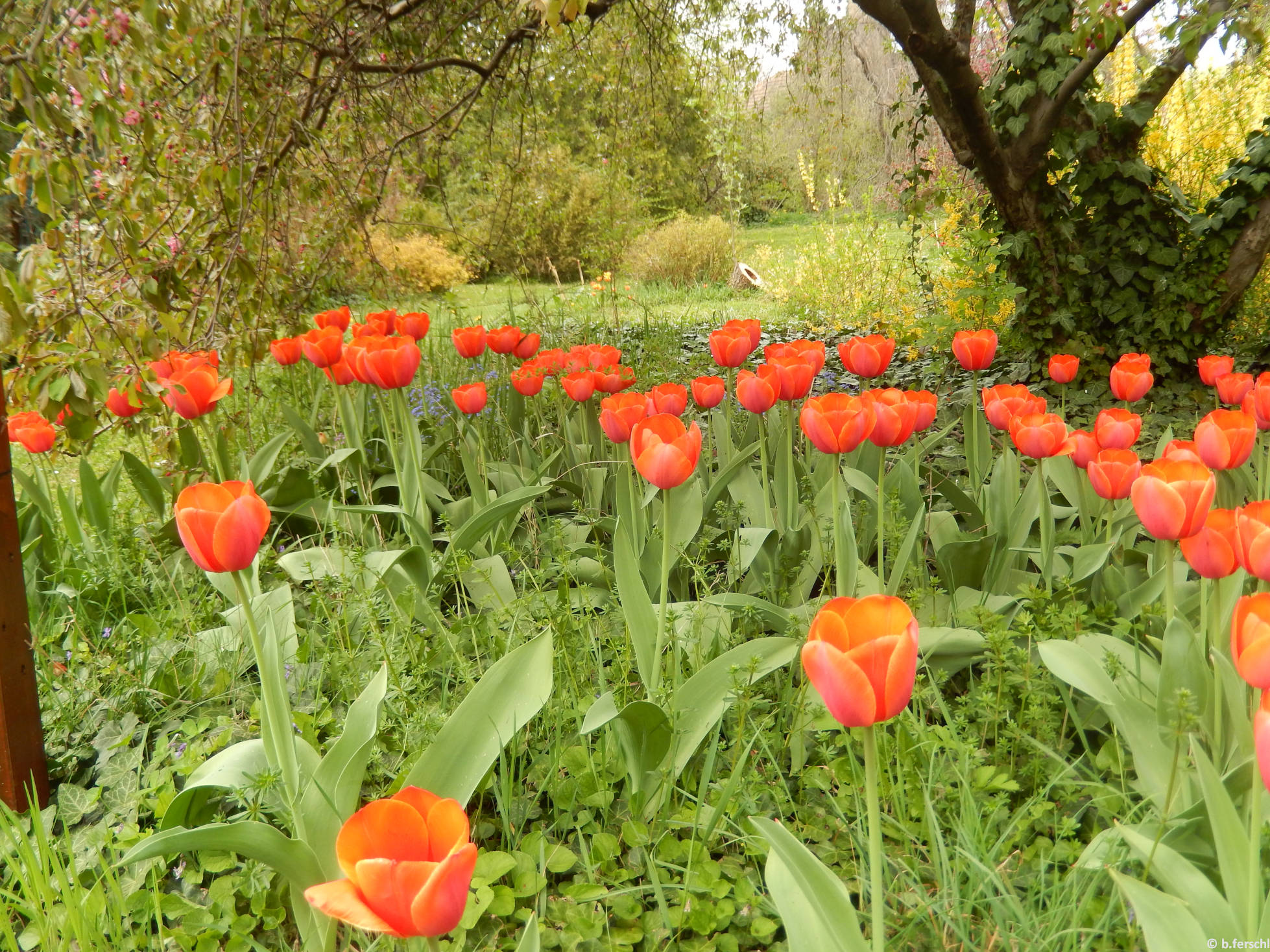 Az idős fák alatt szépen nyílnak a piros tulipánok