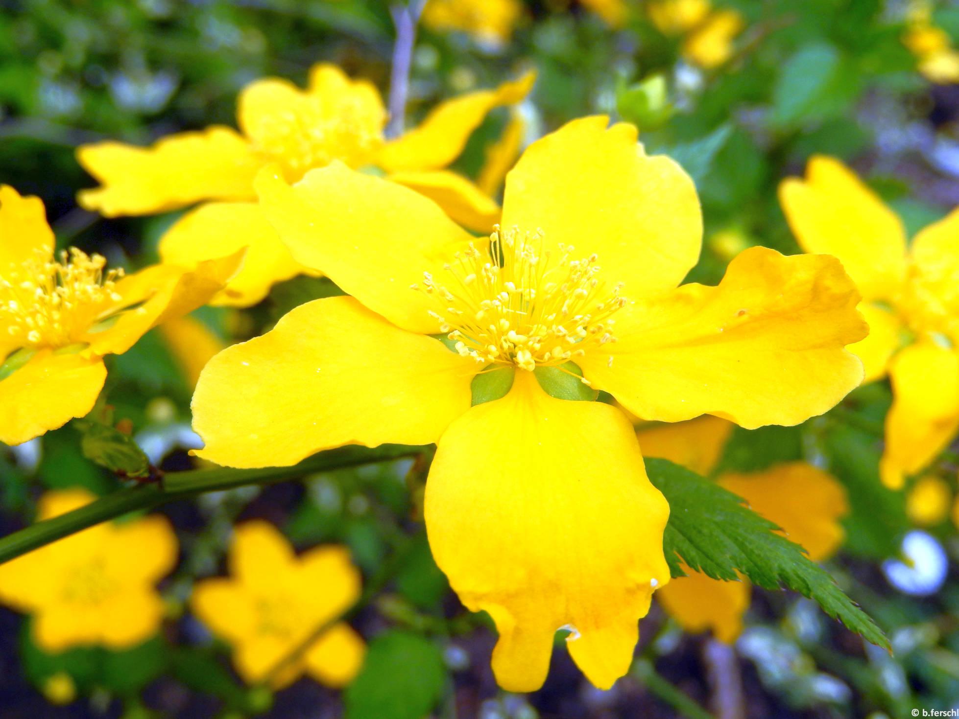 Egyszerű virágú boglárkacserje (Kerria japonica)