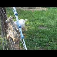 A kecskék az új macskák pofátlanságból