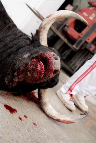 injured-bull-336x500.png