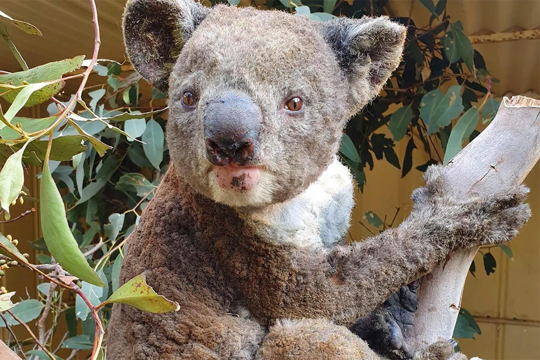koala_egett_serules.jpg