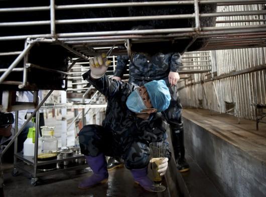 A medve epéjének csapolása egy kínai medvefarmon.