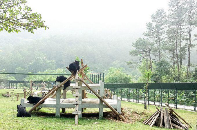 Játszó medvék az Animals Asia vietnámi medve menhelyén.