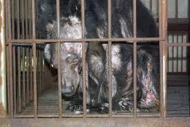 A medve epe farmokon rendkívül rossz egészségi állapotban vannak a medvék.