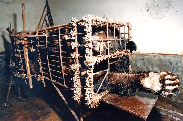 Gyakori, hogy ilyen apró ketrecekbe vannak egész életükben bezárva a medvék. Ez leginkább a tenyészkocák kalodájához hasonlít.