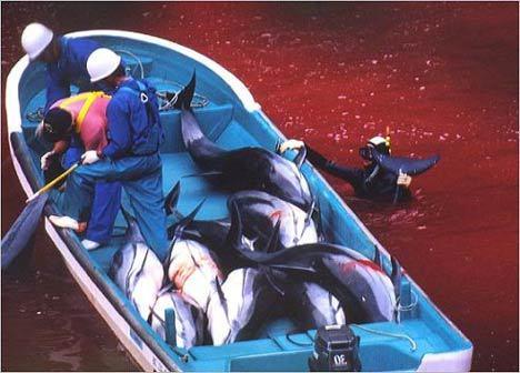 taiji-dolphin-hunt.jpg
