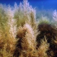 Lehet-e tengeri hínárból bioüzemanyagot gyártani?
