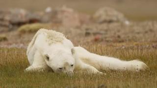 Szívszorító felvétel egy éhező jegesmedvéről