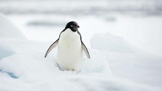 Tragédia a pingvinfiókák között