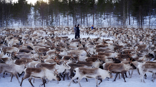 Radioaktív zuzmót esznek a norvég rénszarvasok