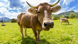 Károsabb a tehénböfögés a klímára, mint eddig gondolták