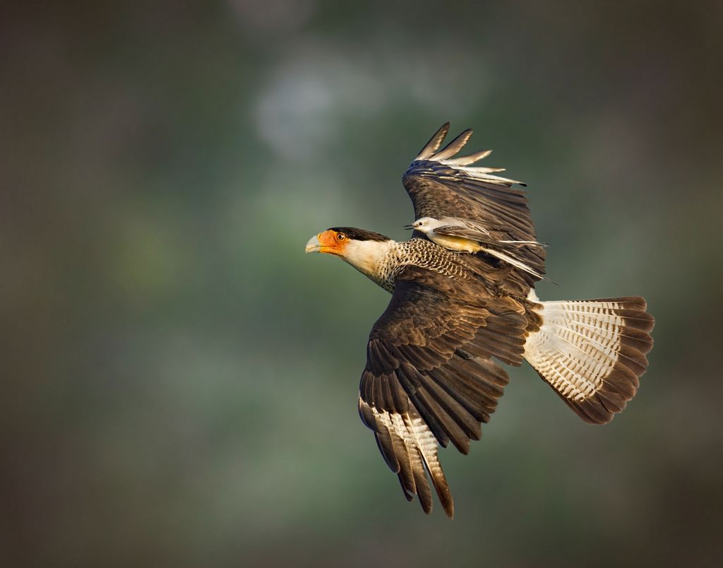 crested_caracara_and_scissor-tailed_flycatcher_jerry_black_apa_kk.jpg