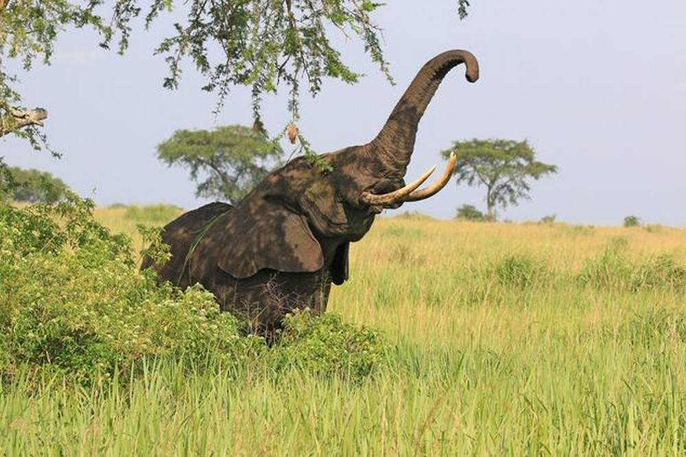 elefant_foto_wikimedia_commons_charles_j_sharp.jpg