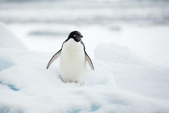 pingvin_foto_wikimedia_commons_andrew_shiva.jpg