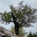 Pécsi mandulafa lett az év fája