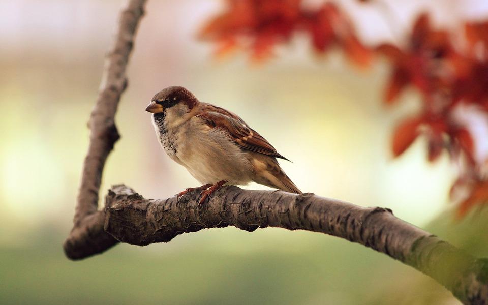 sparrow-9950_960_720.jpg