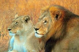 royal lions.jpg