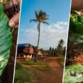 Laosz - Kávé és élő vöröshangya ebédre?