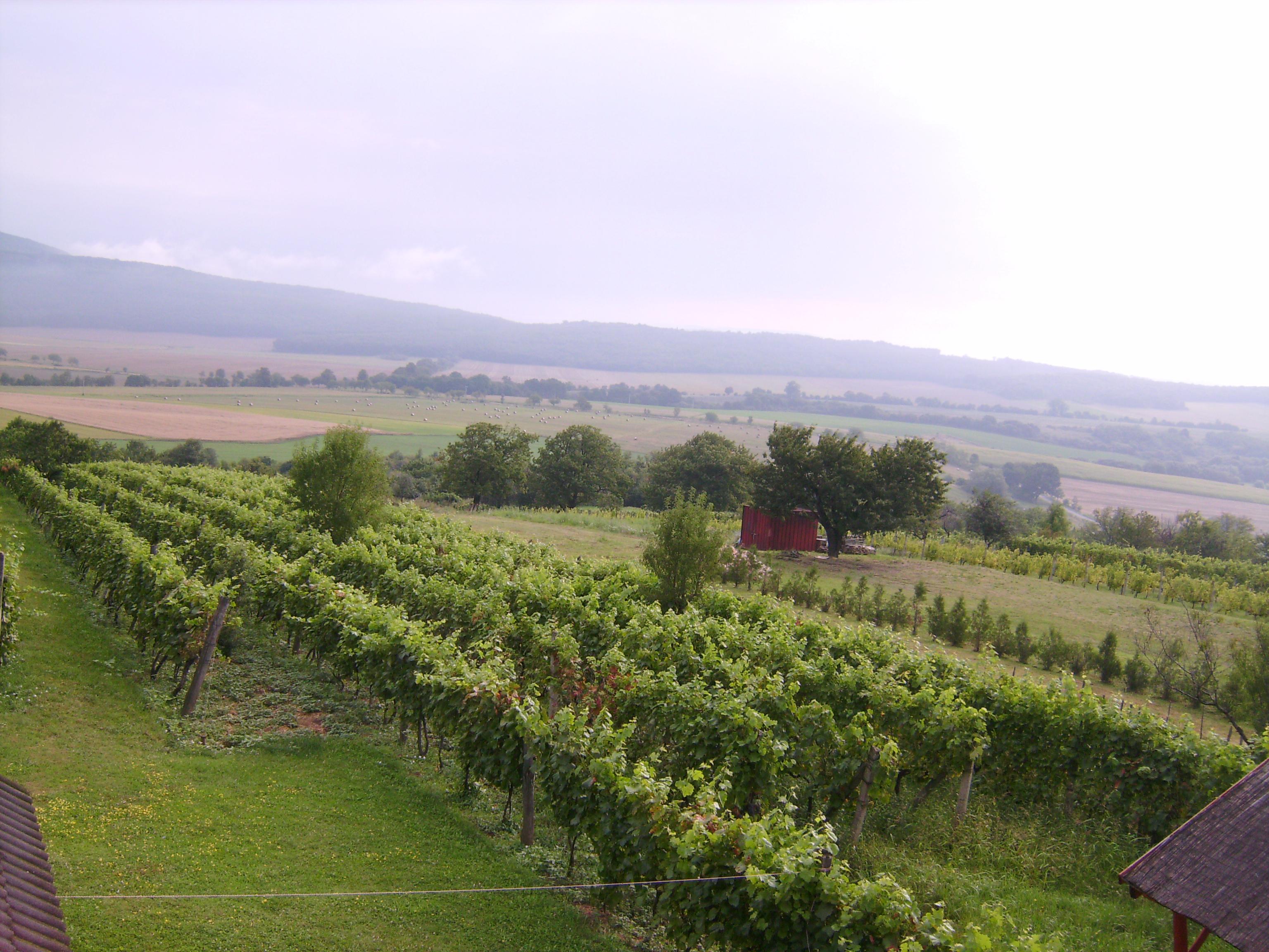Legnagyobb sajnálatunkra túl korán voltunk itt ahhoz, hogy a ház mögötti igazi szőlőültetvényről csipegessünk.