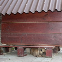 Nyúl a kutyaház alatt