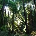 """""""Muir Woods""""  mesefigurái"""